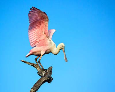 Spoonbill Photograph - Spoonbill Flight by Mark Andrew Thomas