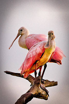 Everglades Photograph - Spoonbills II by Debra and Dave Vanderlaan