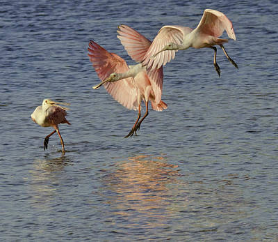 Photograph - Spoonbills Smooth Landing by Patty MacInnis