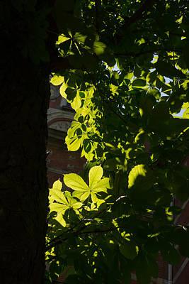 Spotlight On A Spring Green Chestnut Tree Print by Georgia Mizuleva