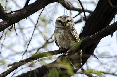 Bird Photograph - Spotted Owl Wide Awake by Pravine Chester