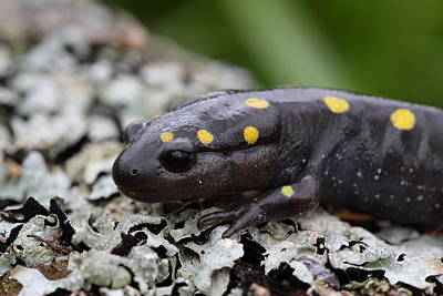 Spotted Salamander Print by Bruce J Robinson