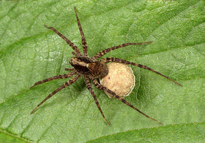 Spider Photograph - Spotted Wolf Spider by Nigel Downer