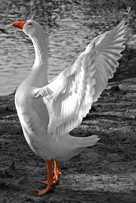 Goose Photograph - Spread Your Wings B And W by Lisa Phillips
