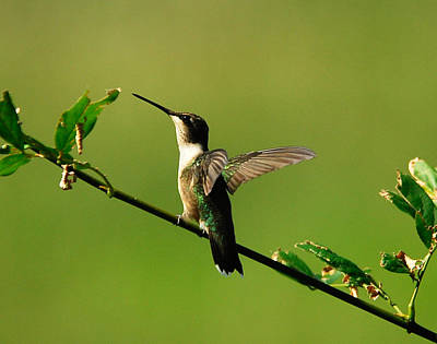Hummingbird Photograph - Taking Flight by David Mortenson