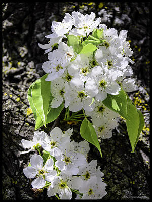 Floral Photograph - Spring Apple Blossoms by LeeAnn McLaneGoetz McLaneGoetzStudioLLCcom