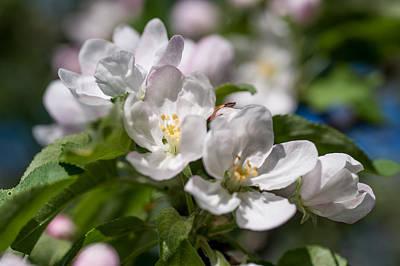 Spring Appletree Blossom 1 Print by Jenny Rainbow