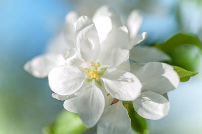 Spring Appletree Blossom Print by Jenny Rainbow