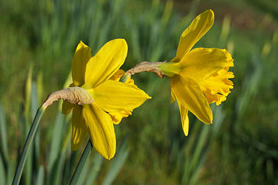 Spring Art Prints Photography Daffodils Print by Baslee Troutman