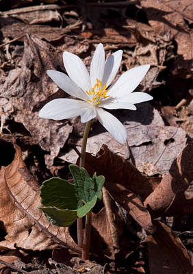 Bloodroot Photograph - Spring Bloodroot Wildflower 2 by Lara Ellis