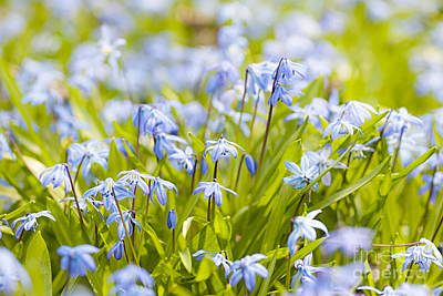 Snowdrop Photograph - Spring Blue Flowers by Elena Elisseeva
