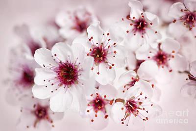 Spring Cherry Blossom Print by Elena Elisseeva
