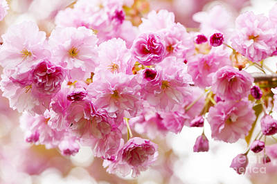 Pink Flower Branch Photograph - Spring Cherry Blossoms  by Elena Elisseeva