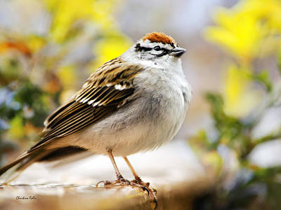 Spring Chipping Sparrow Print by Christina Rollo
