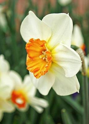 Spring Daffodil Print by Cathie Tyler