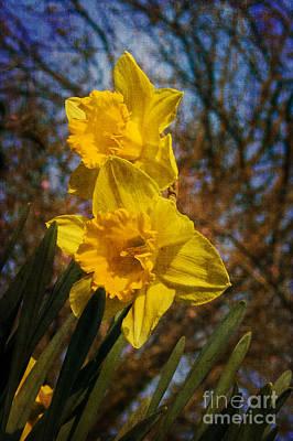 Spring Daffodils  Print by Brian Roscorla