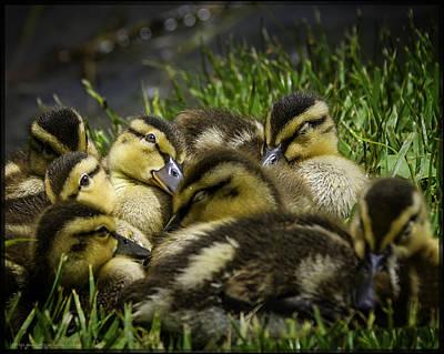 Hen Photograph - Spring Ducks Eyes Open by LeeAnn McLaneGoetz McLaneGoetzStudioLLCcom