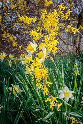 Daffodil Photograph - Spring Floral by Bill Wakeley