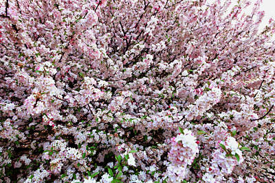 Sakura Painting - Spring Flowering Tree by Lanjee Chee
