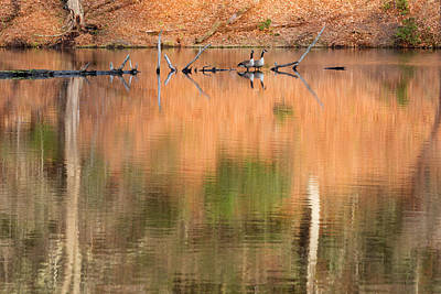 Beaver Photograph - Spring Geese by Bill Wakeley