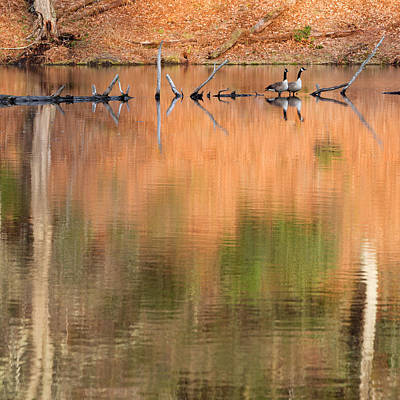 Beaver Photograph - Spring Geese Square by Bill Wakeley