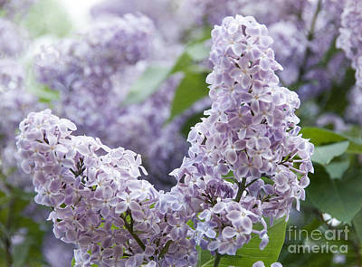 Spring Lilacs In Bloom Print by Juli Scalzi