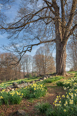 Daffodil Photograph - Spring Path by Bill Wakeley