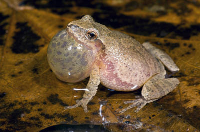 Spring Peepers Photograph - Spring Peeper Calling by Steve Gettle