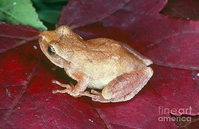 Spring Peepers Photograph - Spring Peeper by Millard H. Sharp