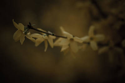 Forsythia Photograph - Spring by Shane Holsclaw