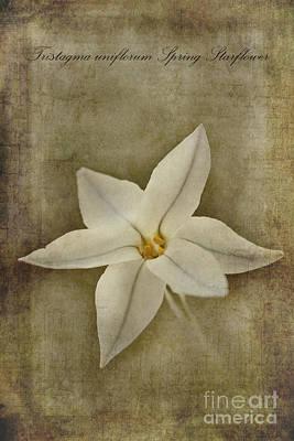 Spring Starflower Print by John Edwards