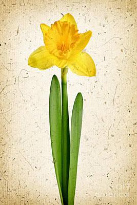 Spring Yellow Daffodil Print by Elena Elisseeva