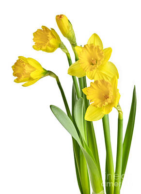 Stem Photograph - Spring Yellow Daffodils by Elena Elisseeva