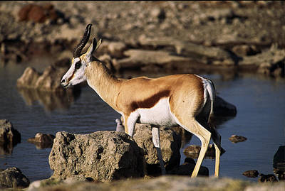 Springbok Drinking Print by Stefan Carpenter