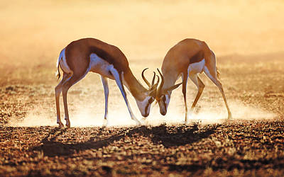Backlit Photograph - Springbok Dual In Dust by Johan Swanepoel
