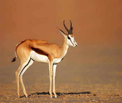Side View Photograph - Springbok On Sandy Desert Plains by Johan Swanepoel