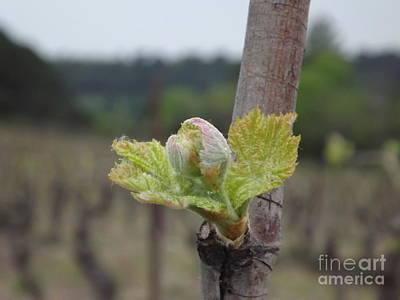 Languedoc Photograph - Spring In The Vineyard by France  Art