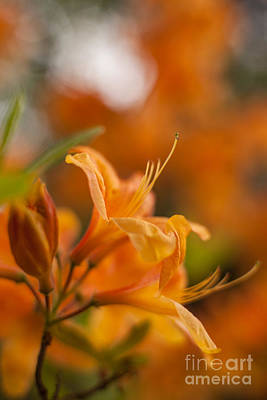 Rhododendron Photograph - Springs Glory by Mike Reid