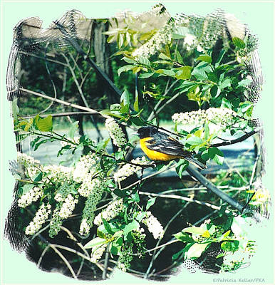 Oriole Mixed Media - Springtime Moments- Oriole With The Cherry Blossoms by Patricia Keller
