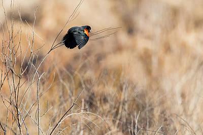 Blackbird Photograph - Springtime Song by Bill Wakeley