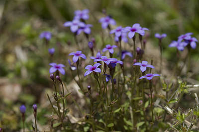 Springtime Tiny Bluet Wildflowers - Houstonia Pusilla Print by Kathy Clark