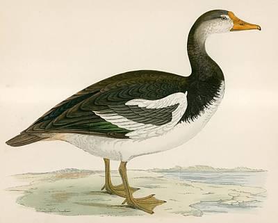 Web Drawing - Spur Winged Goose by Beverley R Morris