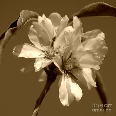 Sepia Flowers Photograph - Square Sepia Blooms by Clare Bevan