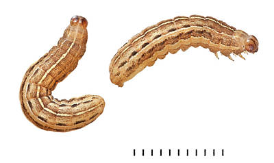 Owlet Photograph - Square-spot Rustic Moth Larvae by Natural History Museum, London