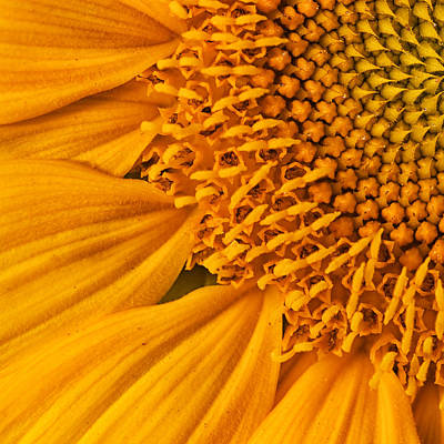 Spiral Photograph - Square Sunflower by Mark Kiver