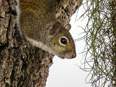 Squirrel On The Tree Print by Zina Stromberg