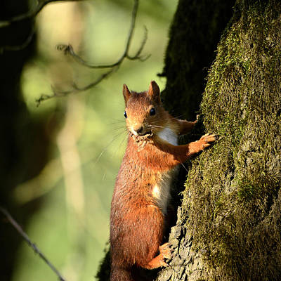 Squirrel Mixed Media - Squirrel On Tree  Posing by Toppart Sweden