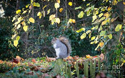 Squirrel Perched Print by Matt Malloy