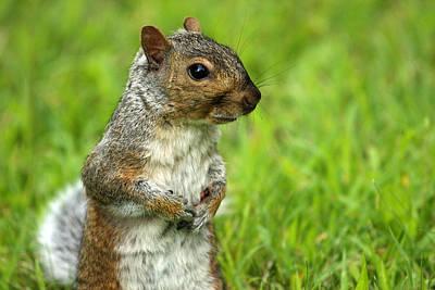 Squirrel Pose Print by Karol Livote