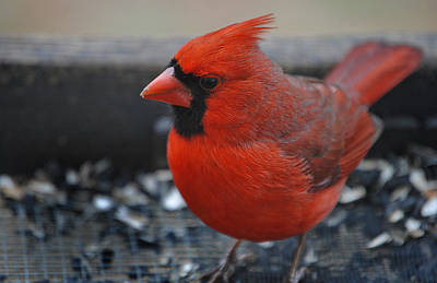Cardinals. Wildlife. Nature Photograph - St. Louis by Skip Willits